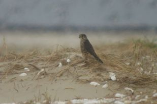 Merlin (Falco columbarius) am Strand (Foto: Tore J. Mayland-Quellhorst).