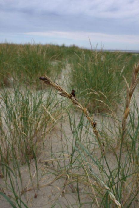 Mutterkorn (Claviceps) iin Dünen-Quecke (Elymus farctus; Foto: Tore J. Mayland-Quellhorst).