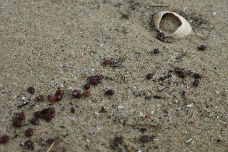 Salzmierensamen (Honckenya peploides) im Spülsaum (Foto: Tore J. Mayland-Quellhorst).