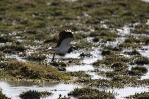 Kiebitz (Vanellus vanellus) rastet auf einer Feuchtwiese (Foto: Jonas Kotlarz)