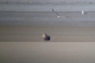 Ein adulter Seeadler (Haliaeetus albicilla) wird von Heringsmöwe (Larus fuscus) gehasst (Foto: Jonas Kotlarz)