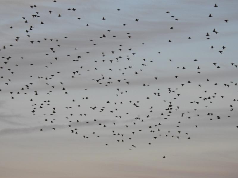 Stare (Sturnus vulgaris, Vogel des Jahres 2018) sammeln sich auf ihrem Zug an Schlafplätzen (Foto: Jonas Kotlarz)
