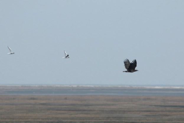 Ein junger Seeadler (Haliaeetus albicilla) wird von Lachmöwen (Croicocephalus ridibundus) gehasst (Foto: Jonas Kotlarz)