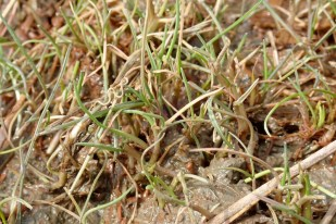 Das erste Grün des Andels (Puccinellia maritima; Foto: Jonas Kotlarz)