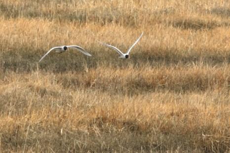 Schwarzkopfmöwen-Paar (Larus melanocephalus) fliegt über die Salzwiese (Foto: Jonas Kotlarz)