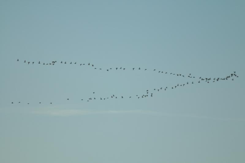 Große Brachcögel (Numenius arquaticus) fliegen in V-Foramtion in Richtung Nordost (Foto: Jonas Kotlarz)