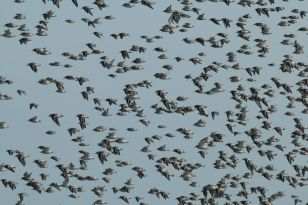 Sanderlinge (Calidirs alba) auf dem Weg zum Hochwasser-Rast-Platz (Foto: Jonas Kotlarz)