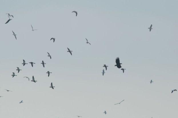 Seeadler (Haeliaeetus albicilla) wird vertrieben (Foto: Jonas Kotlarz)
