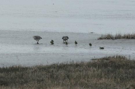 Graugans-Familie (Anser anser) bricht in die Südost-Bucht auf (Foto: Jonas Kotlarz)
