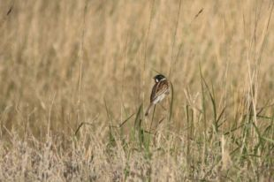 Rohrammer-Männchen (Emberiza schoeniclus; Foto: Jonas Kotlarz)