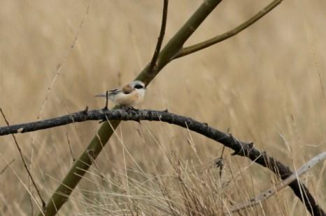 Beutelmeise (Remiz pendulinus) im Lockgebüsch (Foto: Jonas Kotlarz)