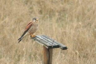 Männlicher Turmfalke (Falco tinnunculus; Foto: Jonas Kotlarz)