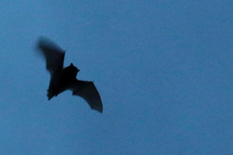 Eine Fledermaus jagt am Abend an der Hütte (Foto: Jonas Kotlarz)