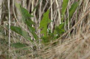 Eine Löwenzahn Pflanze (Taraxacum officinale) in den Dünen (Foto: Jonas Kotlarz)