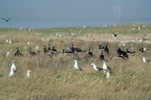 Kormoran-Kolonie (Phalacrocorax carbo; Foto: Jonas Kotlarz)