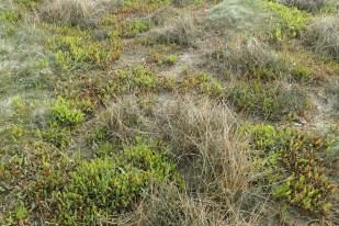 Der Strandflieder (Limonium vulgare) wächst (Foto: Jonas Kotlarz)