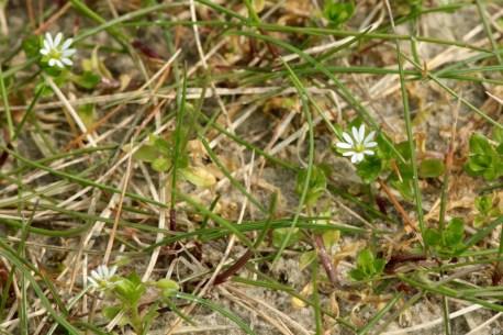 Eine blühende Vogelmiere (Stellaria media) in den Dünen (Foto: Jonas Kotlarz)