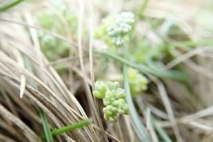 Das erste Grün des Strandbeifußes (Artemisia maritima; Foto: Jonas Kotlarz)