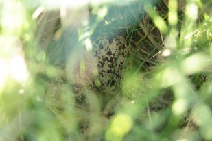 Extrem gut versteckt im hohen Gras: Ein Rotschenkel Nest (Tringa totanus, Foto: Jonas Kotlarz)