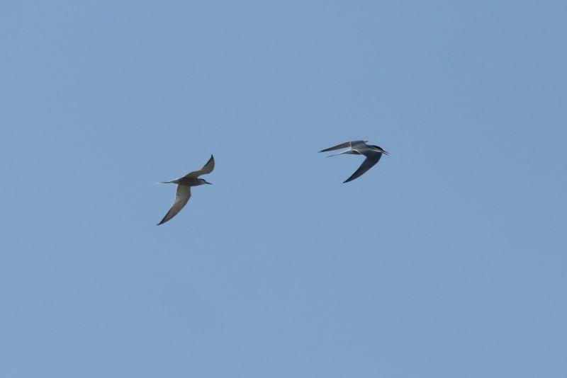 Balzflug der Flussseeschwalben (Sterna hirundo, Foto: Jonas Kotlarz)