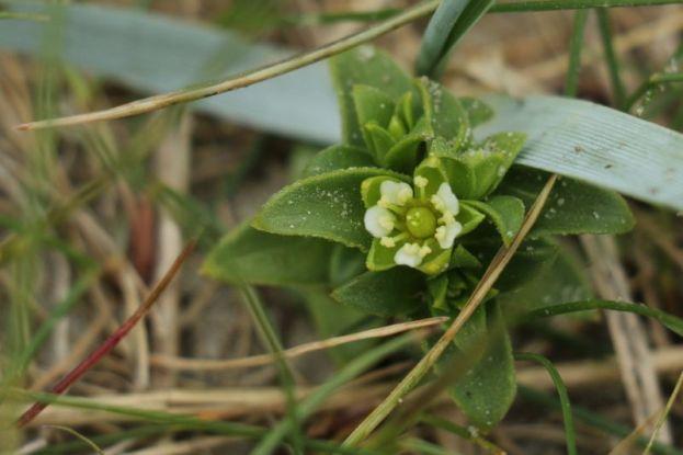 Salzmiere (Honckenya peploides; Foto: Jonas Kotlarz)