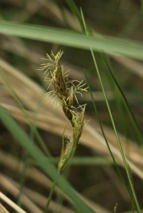 Sandsegge (Carex arenaria; Foto: Jonas Kotlarz)