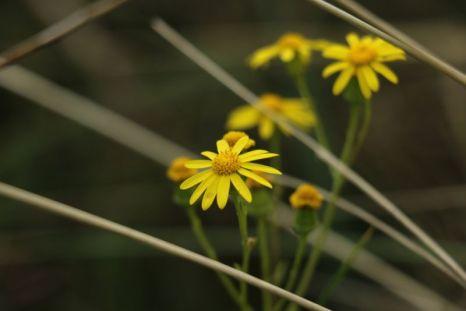 Frühlings-Greiskraut (Senecio vernalis; Foto: Jonas Kotlarz)