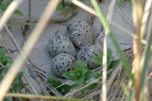 Sandregenpfeifer-Gelege (Charadirius hiaticula, Foto: Jonas Kotlarz)