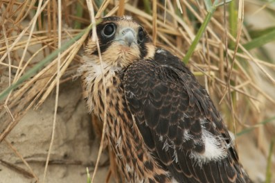Fast flügger Wanderfalke (Falco peregrinus; Foto: Jonas Kotlarz)
