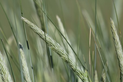 Strandhafer (Ammophila arenaria; Foto: Jonas Kotlarz)