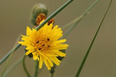 Acker-Gänsedistel (Sonchus arvensis; Foto: Jonas Kotlarz)