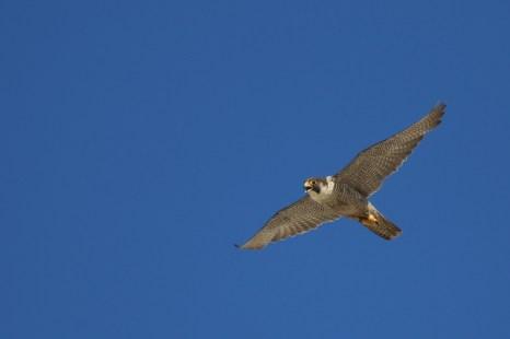 Das Weibchen des Wanderfalken-Paares (Falco peregrinus) auf Trischen (Foto: Jonas Kotlarz)
