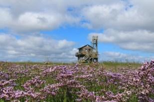 Hütte im Strandflieder (Limonium vulgare; Foto: Jonas Kotlarz)