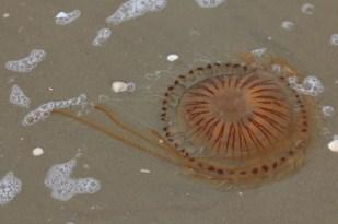 Kompassqualle (Chrysaora hysoscella; Foto: Jonas Kotlarz)