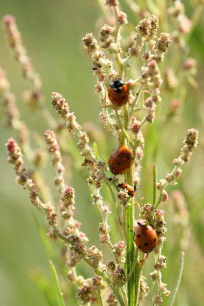"Marienkäfer (Coccinellidae) auf Blattlaus-""Jagd"" (Foto: Jonas Kotlarz)"