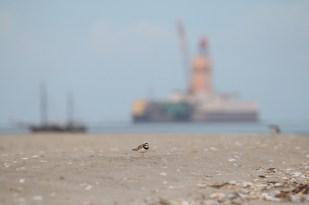 Sandregenpfeifer (Charadrius hiaticula) vor Mittelplate und Traditionssegler (Foto: Jonas Kotlarz)