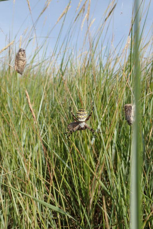 Weibliche Wespenspinne (Argiope bruennichi; Foto: Jonas Kotlarz)
