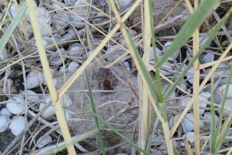 Seidenbiene (Colletes sp. vermutlich halophilus) gräbt in der Düne ihr Nest (Foto: Jonas Kotlarz)
