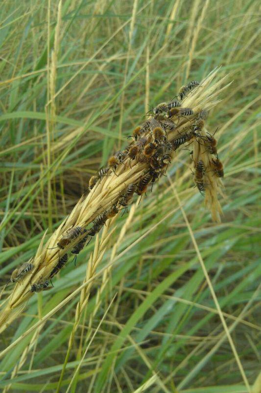 """Seidenbienen (Colletes sp. vermutlich halophilus) in der Düne; für diese """"Zusammenkunft"""" suche ich noch nach einer Erklärung (Foto: Jonas Kotlarz)"""