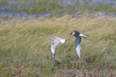 Flussseeschwalbe und junge Lachmöwe (Sterna hirundo, Chroicocephalus ridibundus; Foto: Jonas Kotlarz)