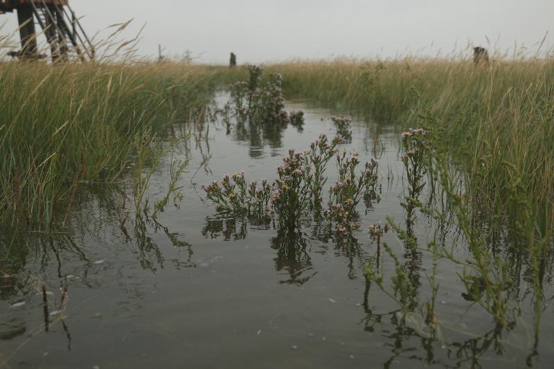 Strandaster (Tripolium pannonicum) im Hochwasser (Foto: Jonas Kotlarz)
