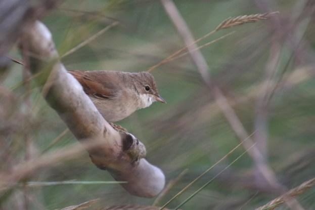 Rastende Dorngrasmücke (Sylvia communis; Foto: Jonas Kotlarz)