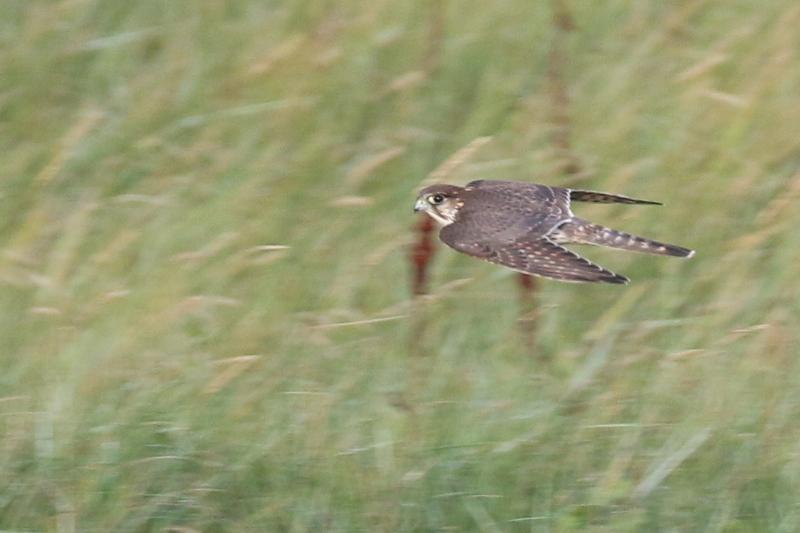 Durchziehender Merlin (Falco columbarius; Foto: Jonas Kotlarz)