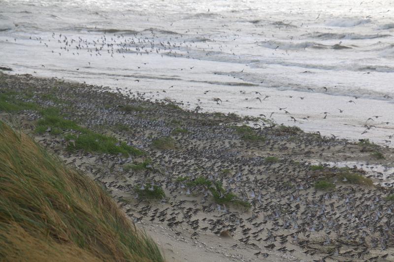 Hochwasserrastvögel bei Landunter am 22.09.2018 (Foto: Jonas Kotlarz)