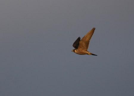 Wanderfalke (Falco peregrinus; Foto: Jonas Kotlarz)