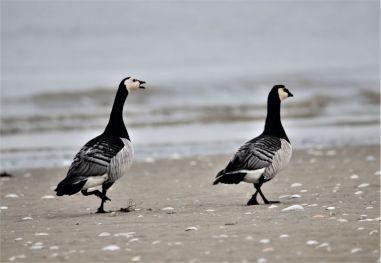 Weißwangengänse am Strand