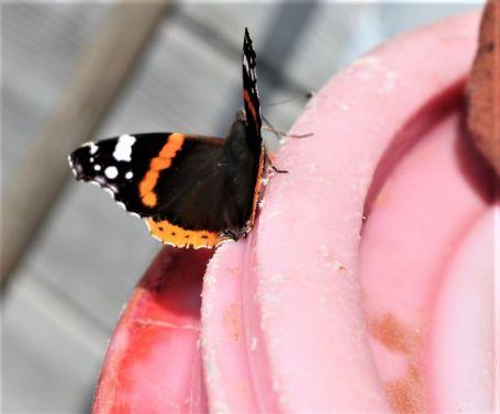 rosa und orange. Das beißt sich etwas. Admiral an Regentonne (Foto: A. de Walmont)