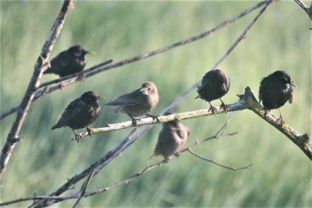 Jung- und Altvögel (Foto: A. de Walmont)