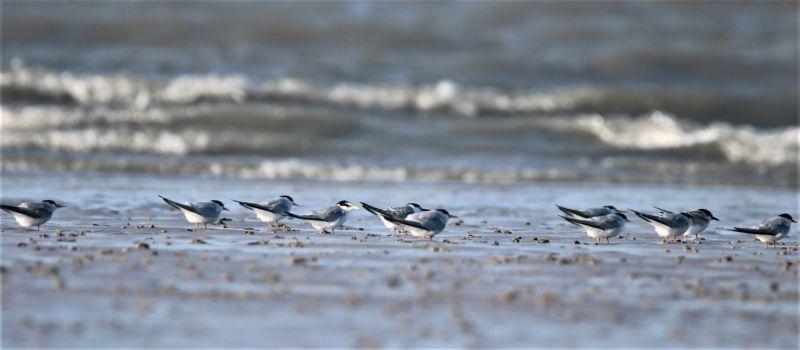 Mehr als eine Generation: Zwergseeschwalben (Foto: A. de Walmont)