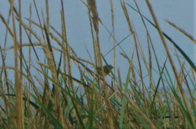 Seltener Gast auf Trischen: Gelbbrauen-Laubsänger (Foto: A. de Walmont)